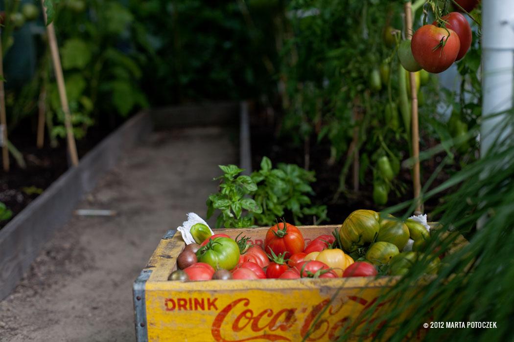 14-tomato_growing