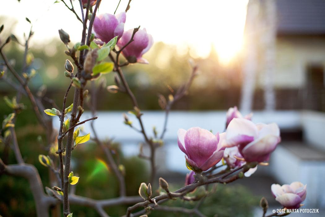 7_magnolia
