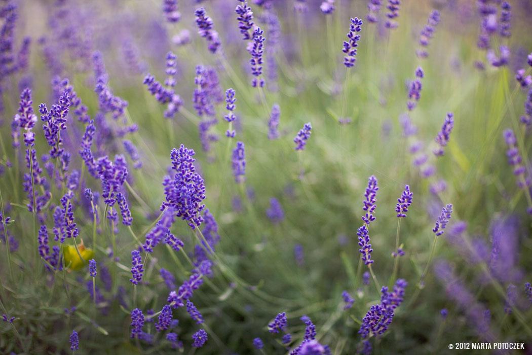 9-lavender_in_garden