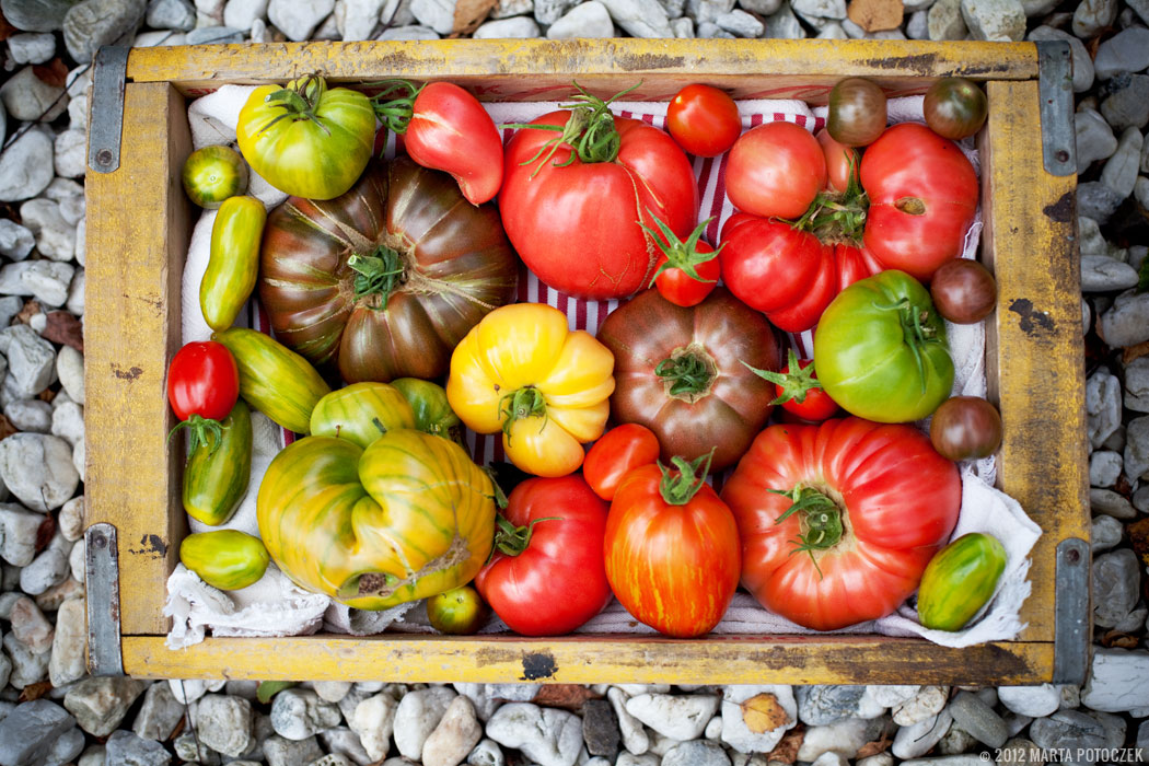 uprawa pomidorów w szklarni