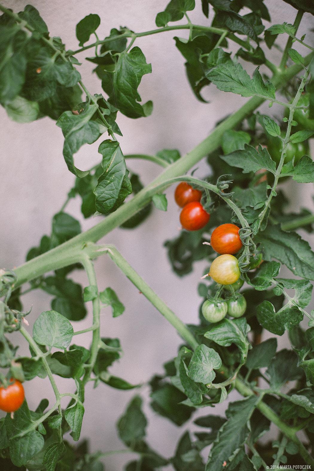 uprawa pomidorków koktajlowych