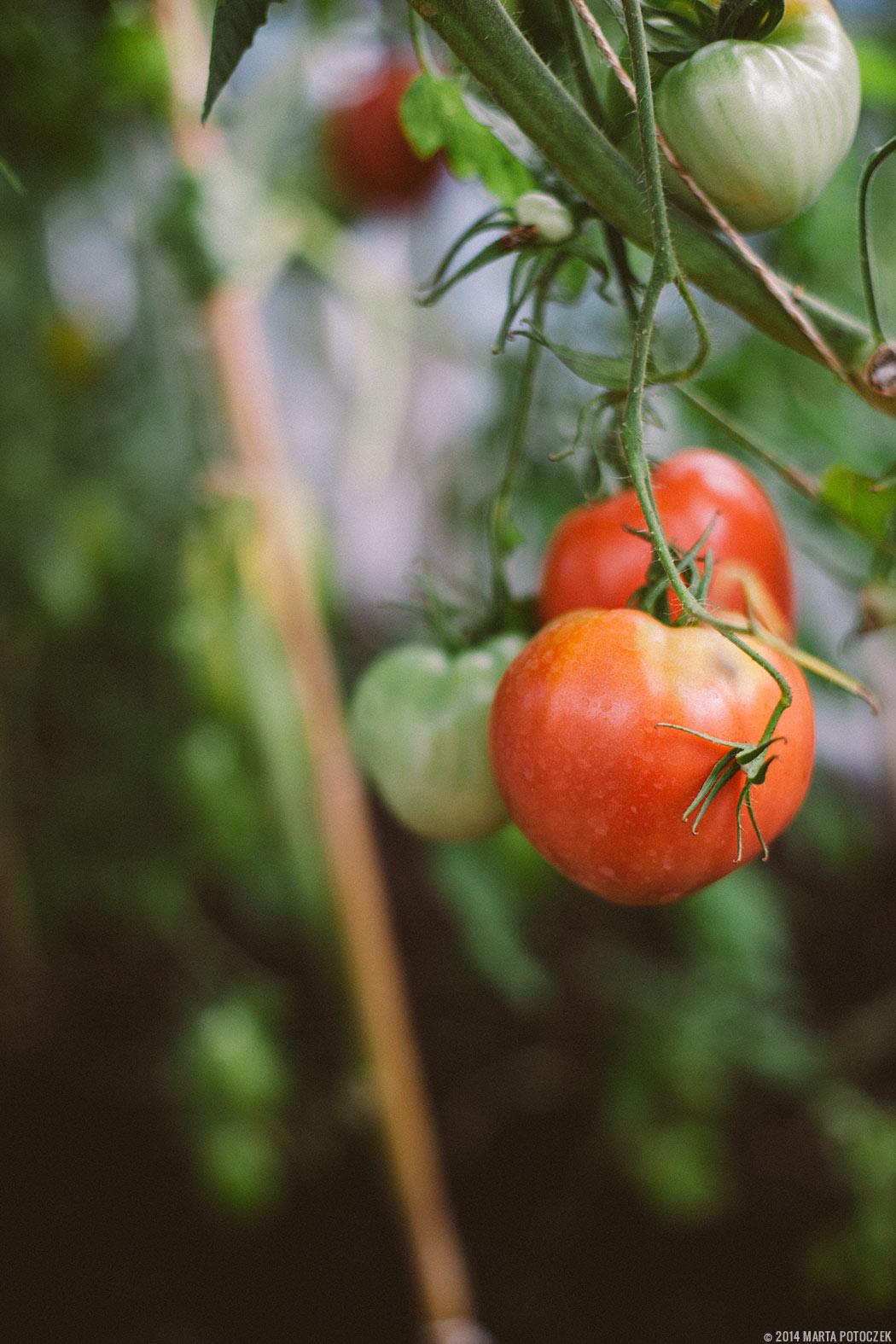 ciekawe odmiany pomidorów