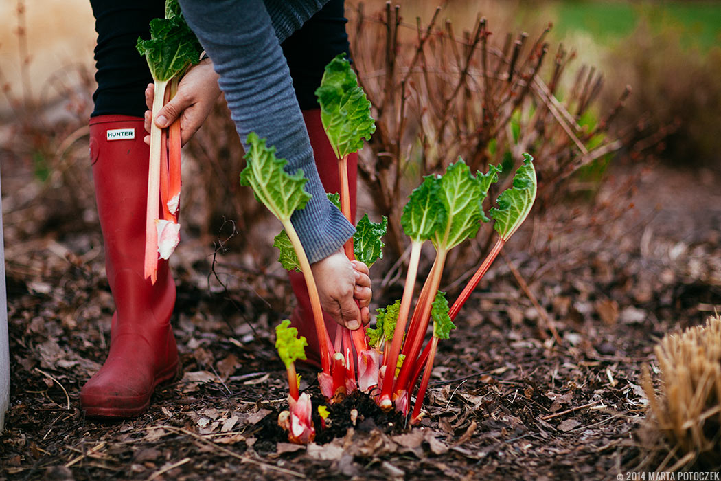 collecting_rhubarb