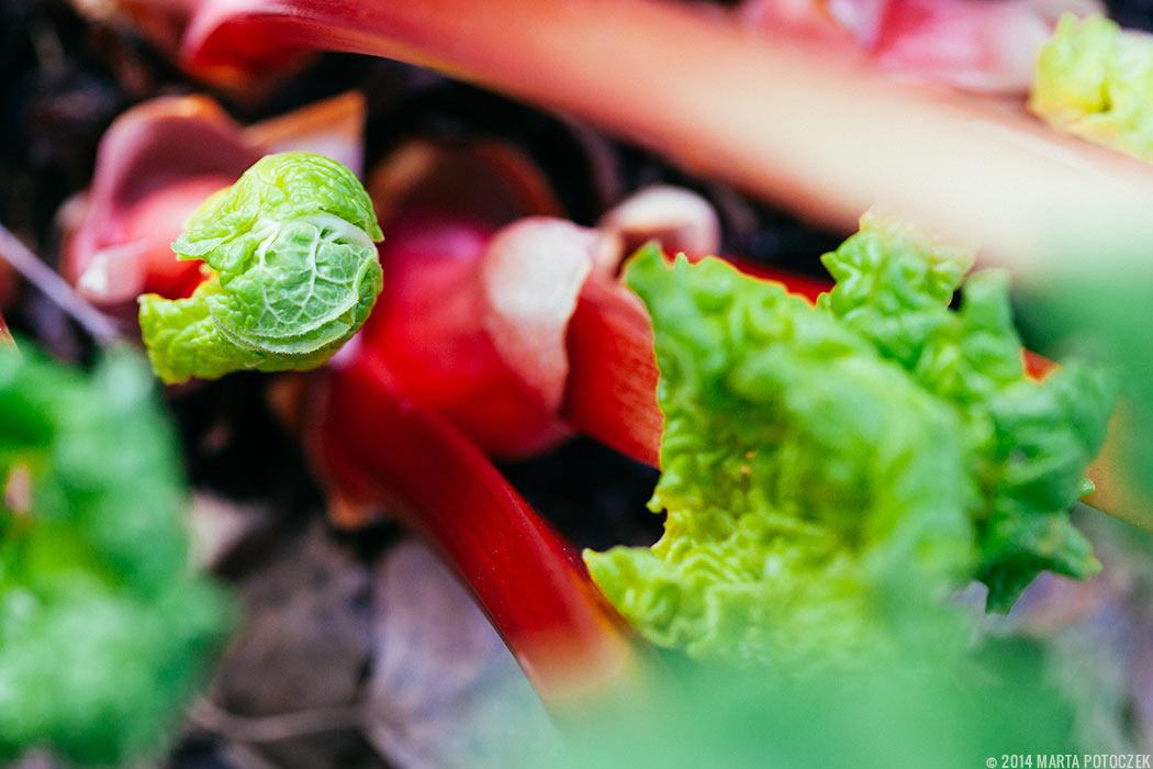 rhubarb_new_growth