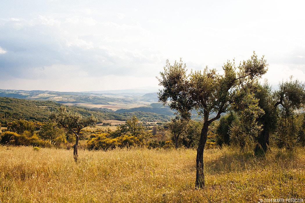 olive_trees_seggiano