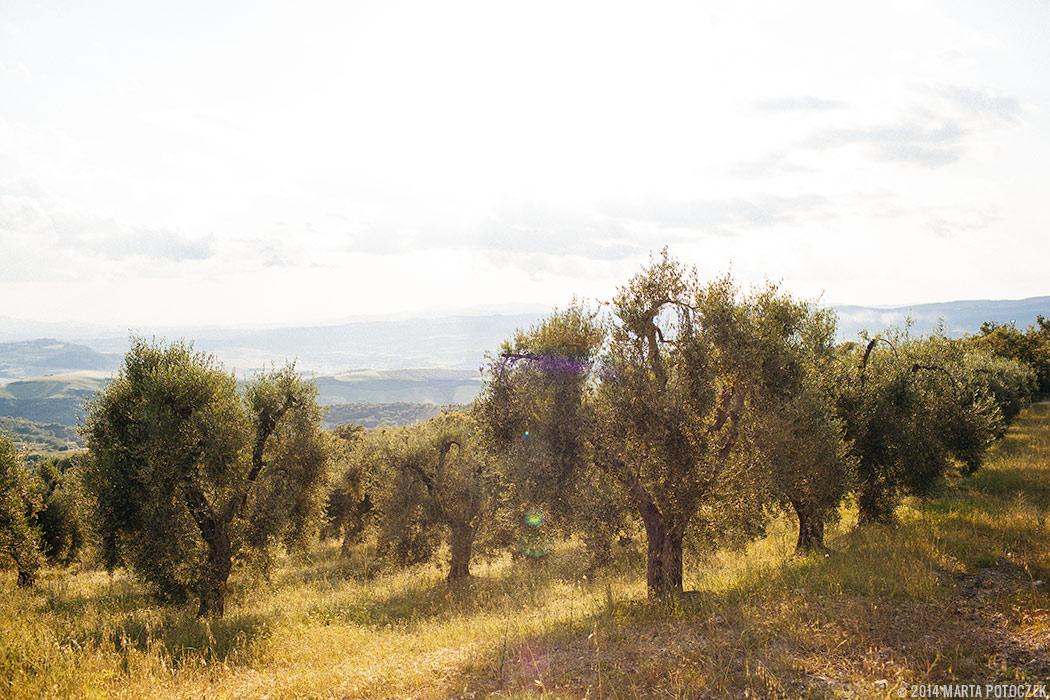 olive_trees_tuscany_seggiano