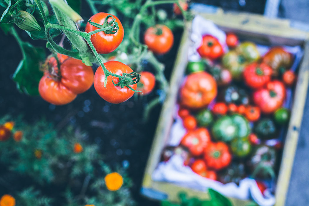 ekologiczne_pomidory