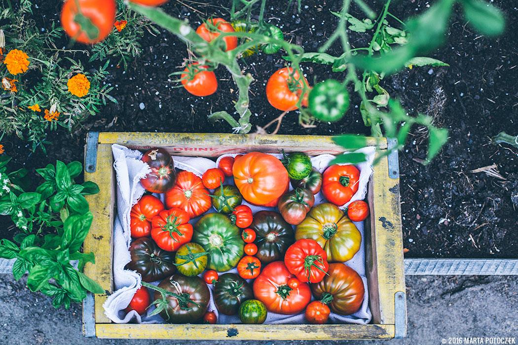 jak_nawozic_pomidory