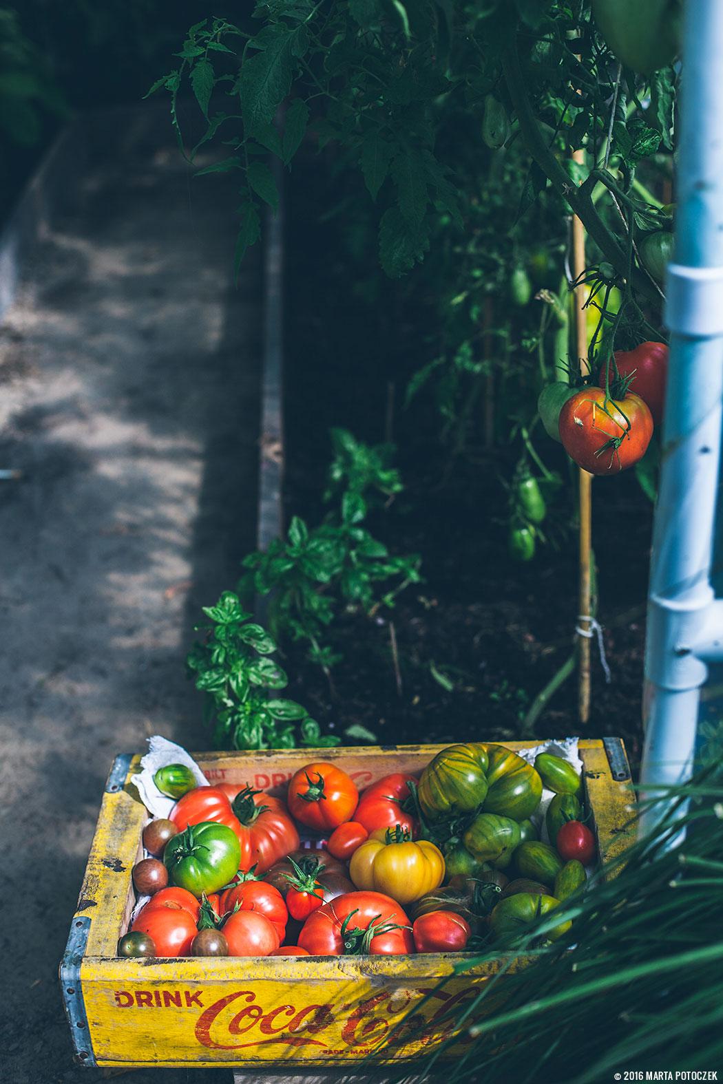 uprawa_pomidorów_1