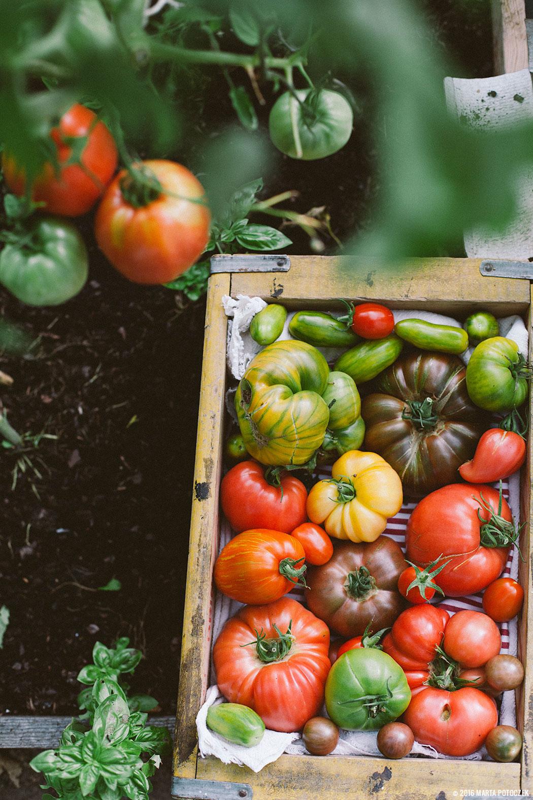 uprawa_pomidorów_2