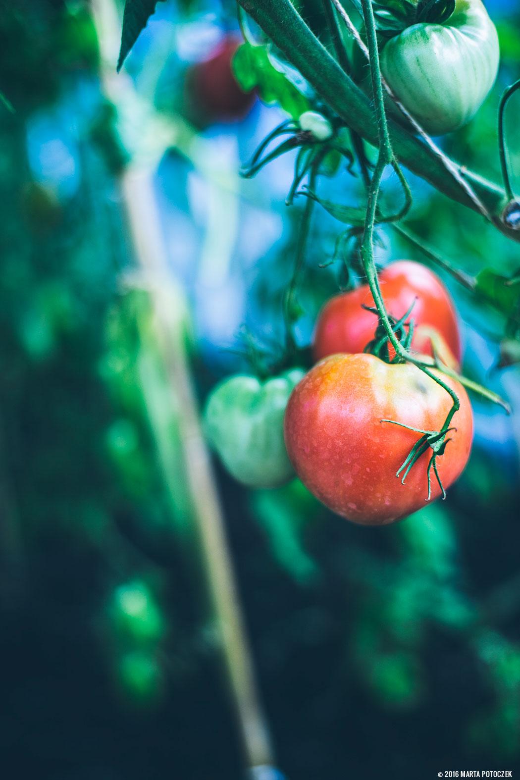 uprawa_pomidorow
