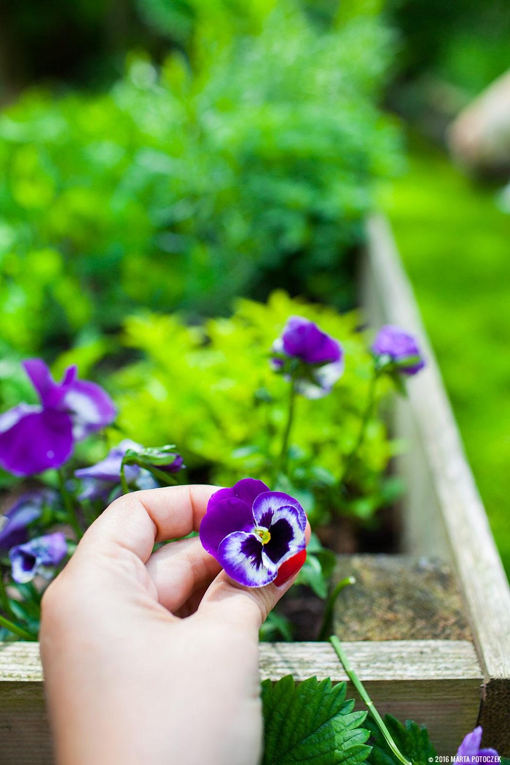 bratki rogate, jadalne kwiaty