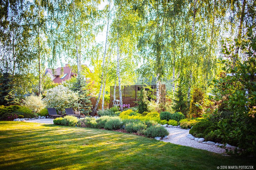 brzozy w ogrodzie