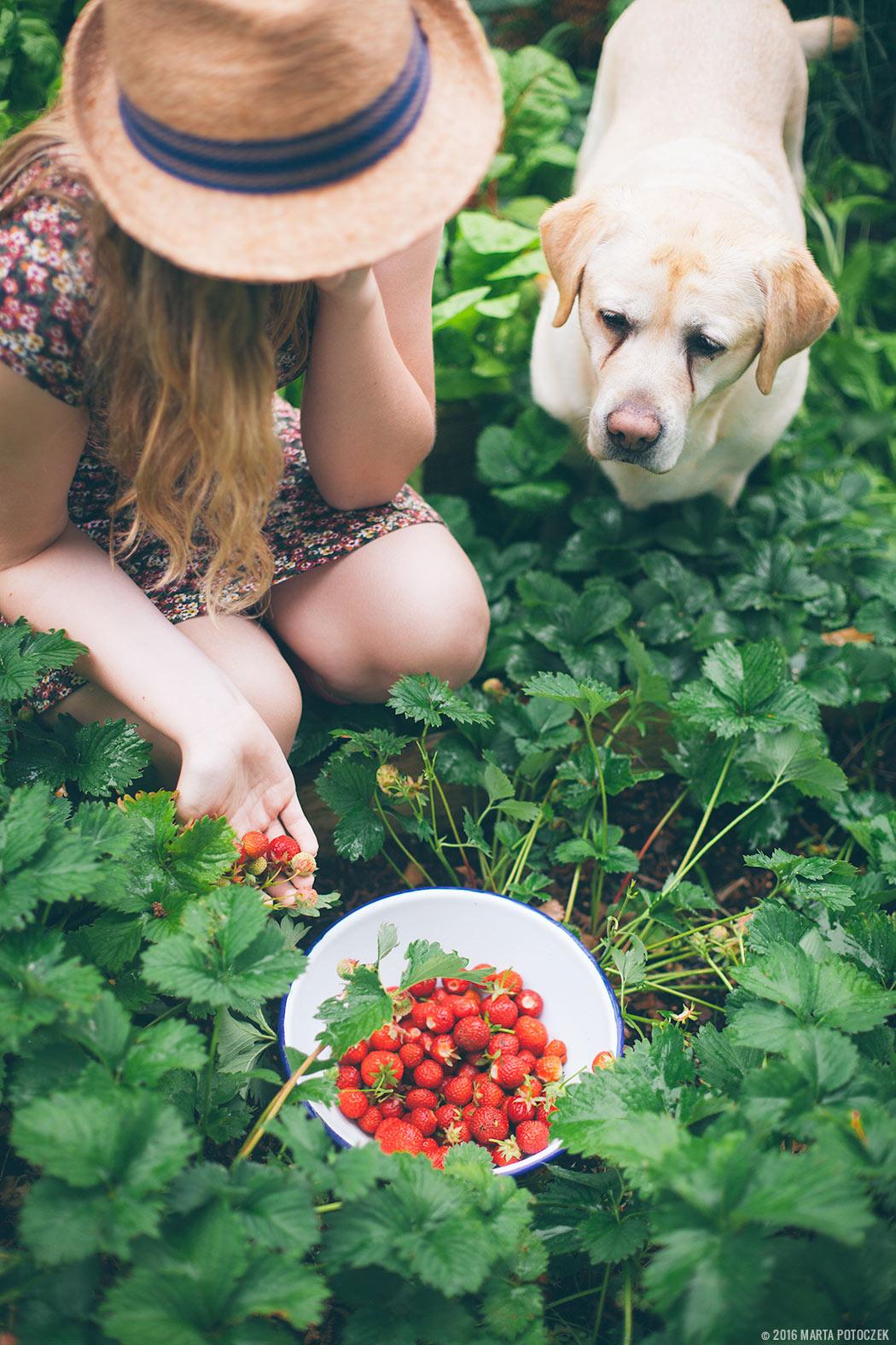 własna uprawa truskawek