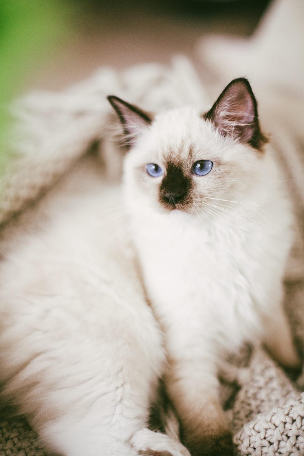 ragdoll-kitten-tyrion1