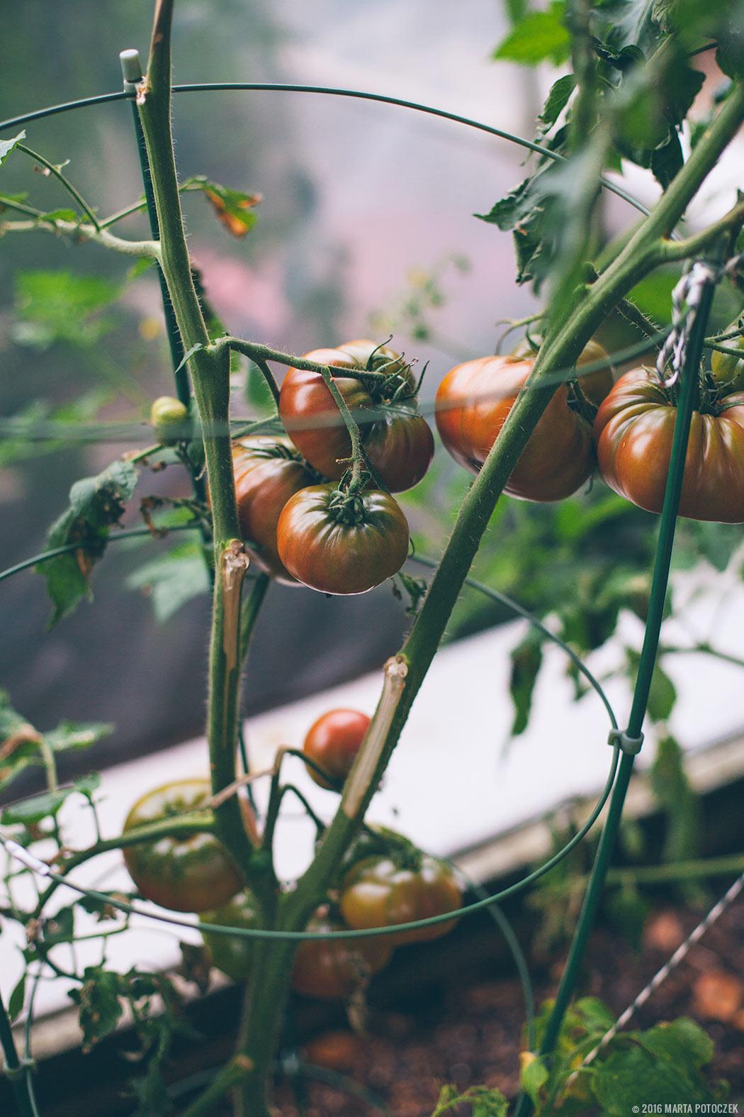 czarne pomidory na krzaku