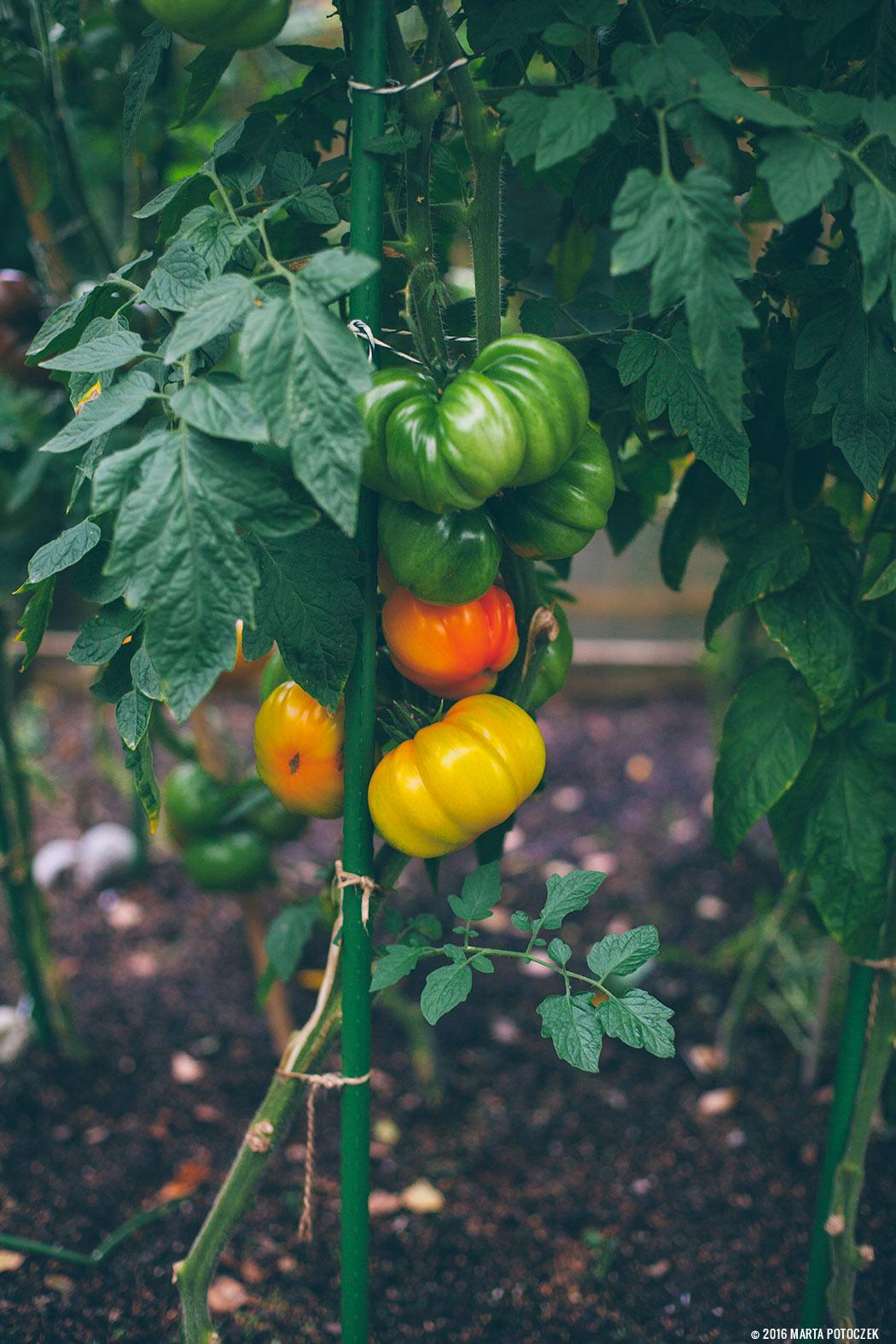 pomidory na krzaku
