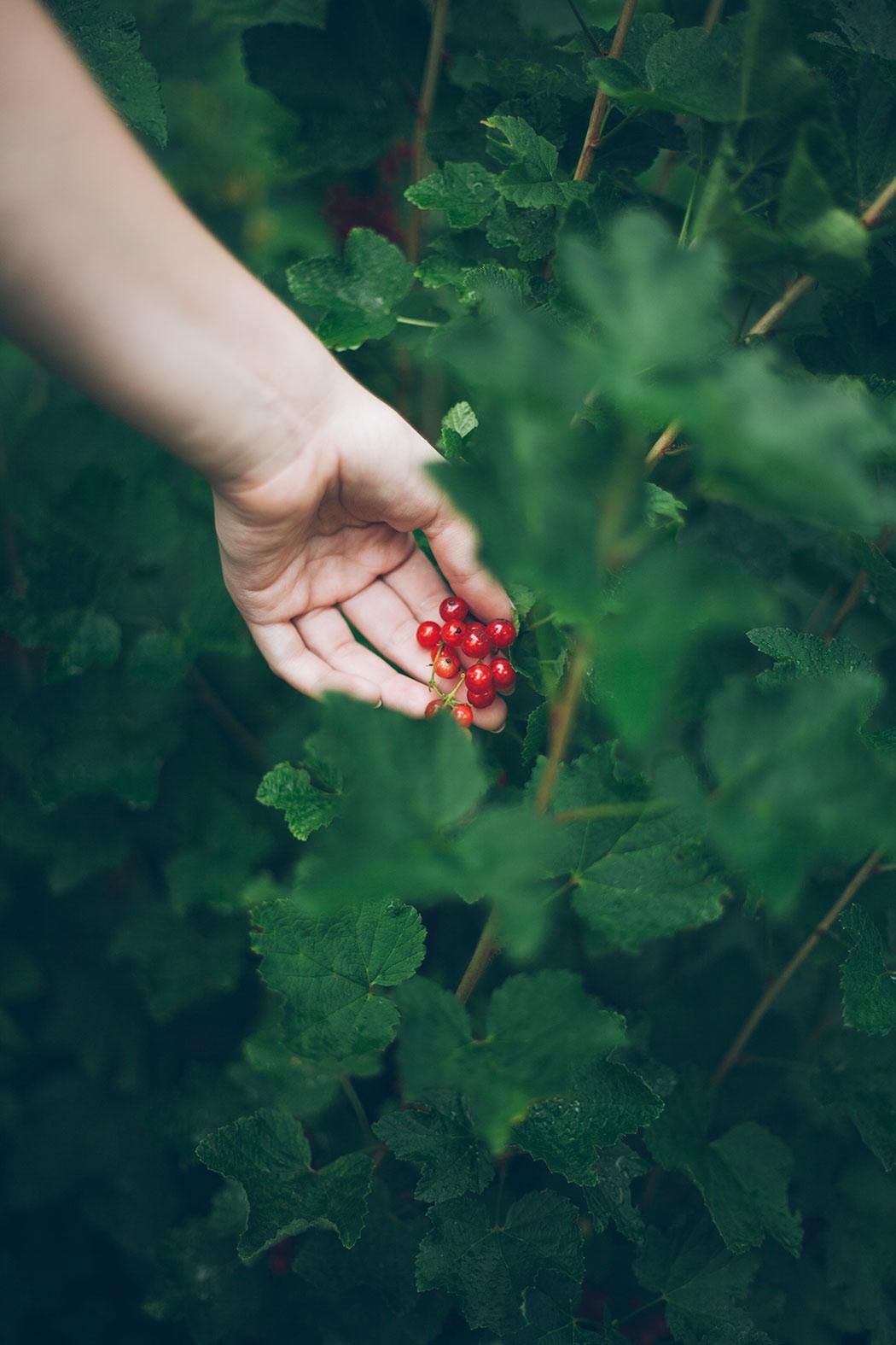 uprawa-porzeczki-w-ogrodzie