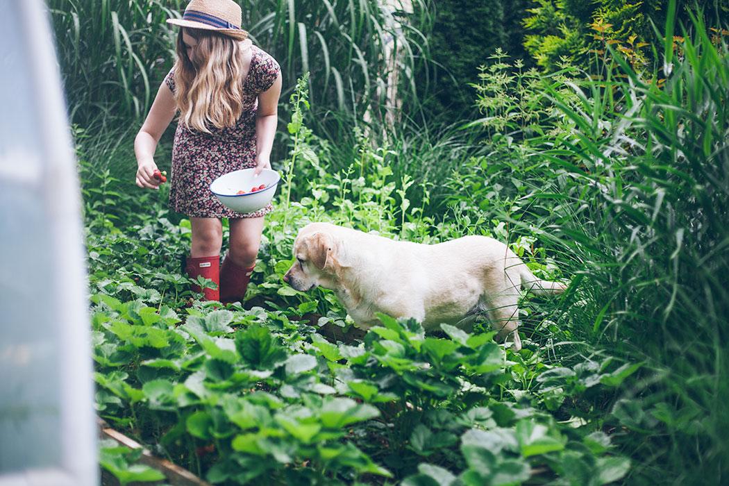 uprawa-truskawek-w-domowym-ogrodku