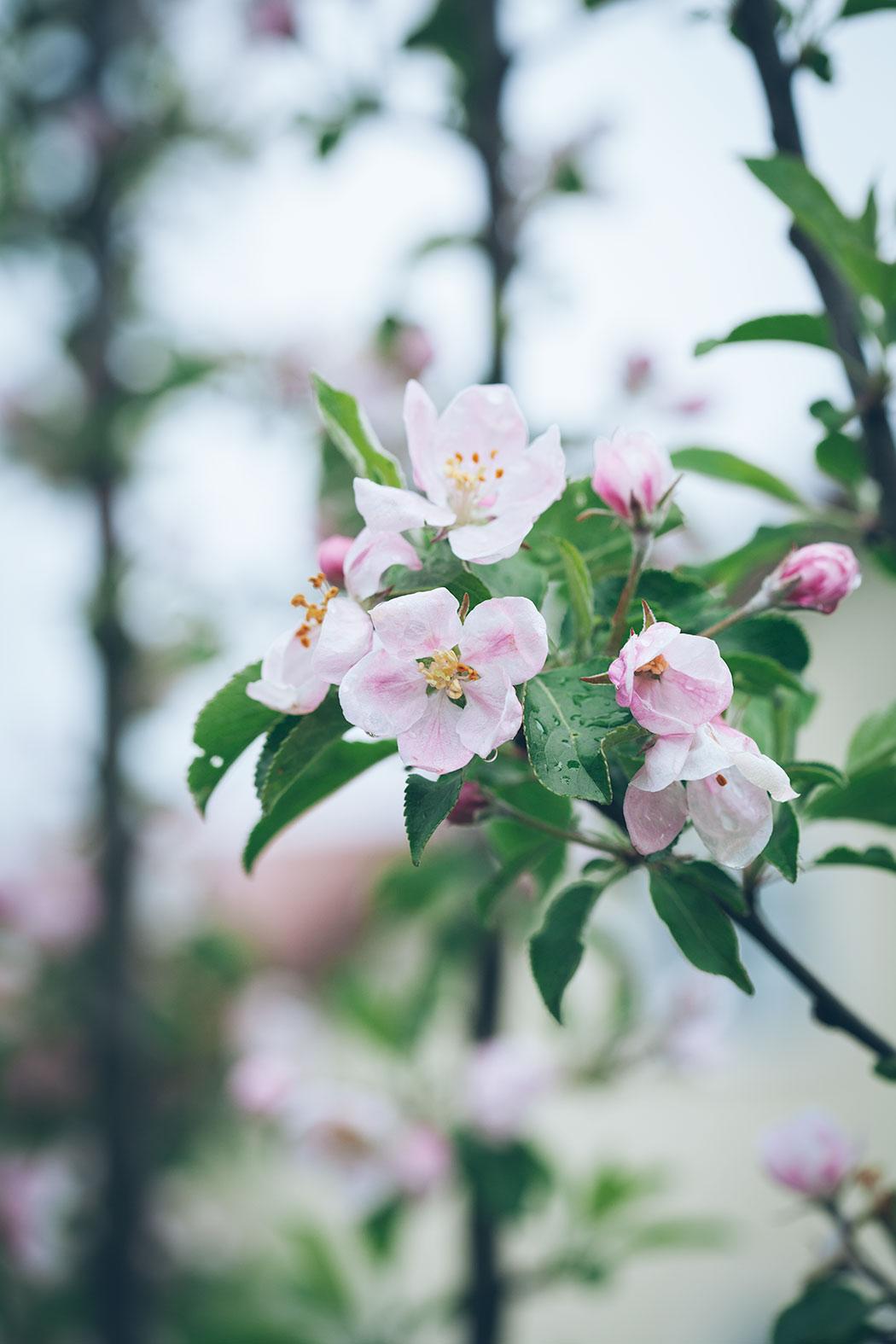 kwitnace-jablonie
