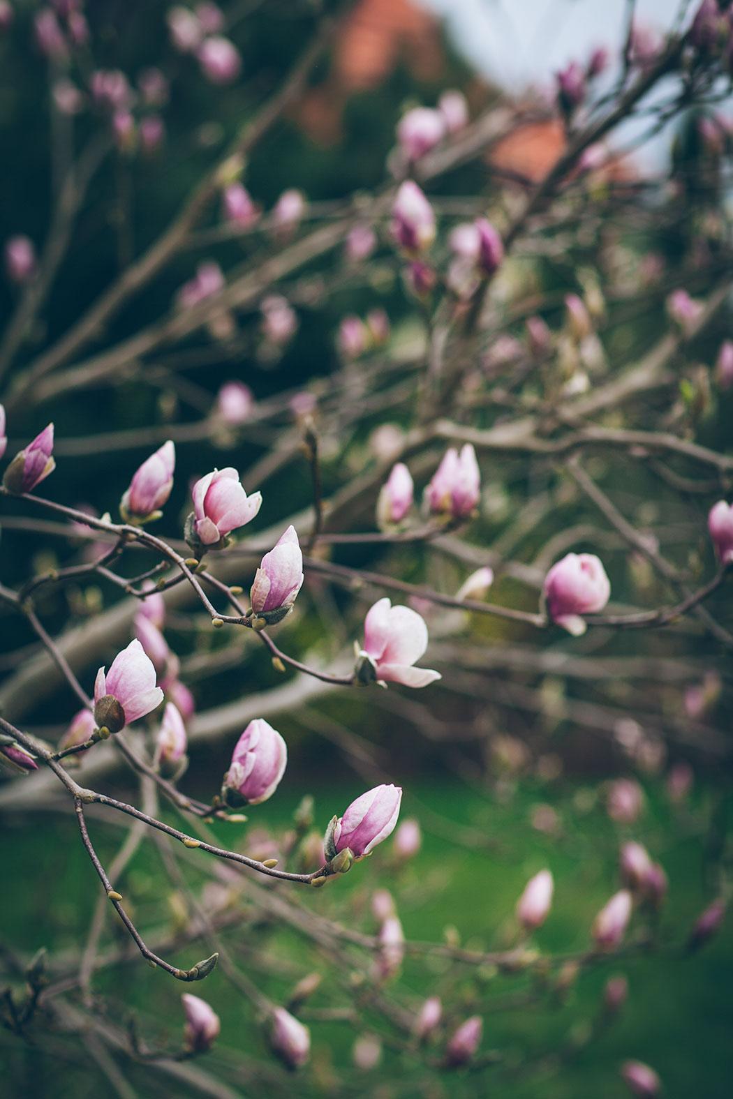 magnolia rustica rubra