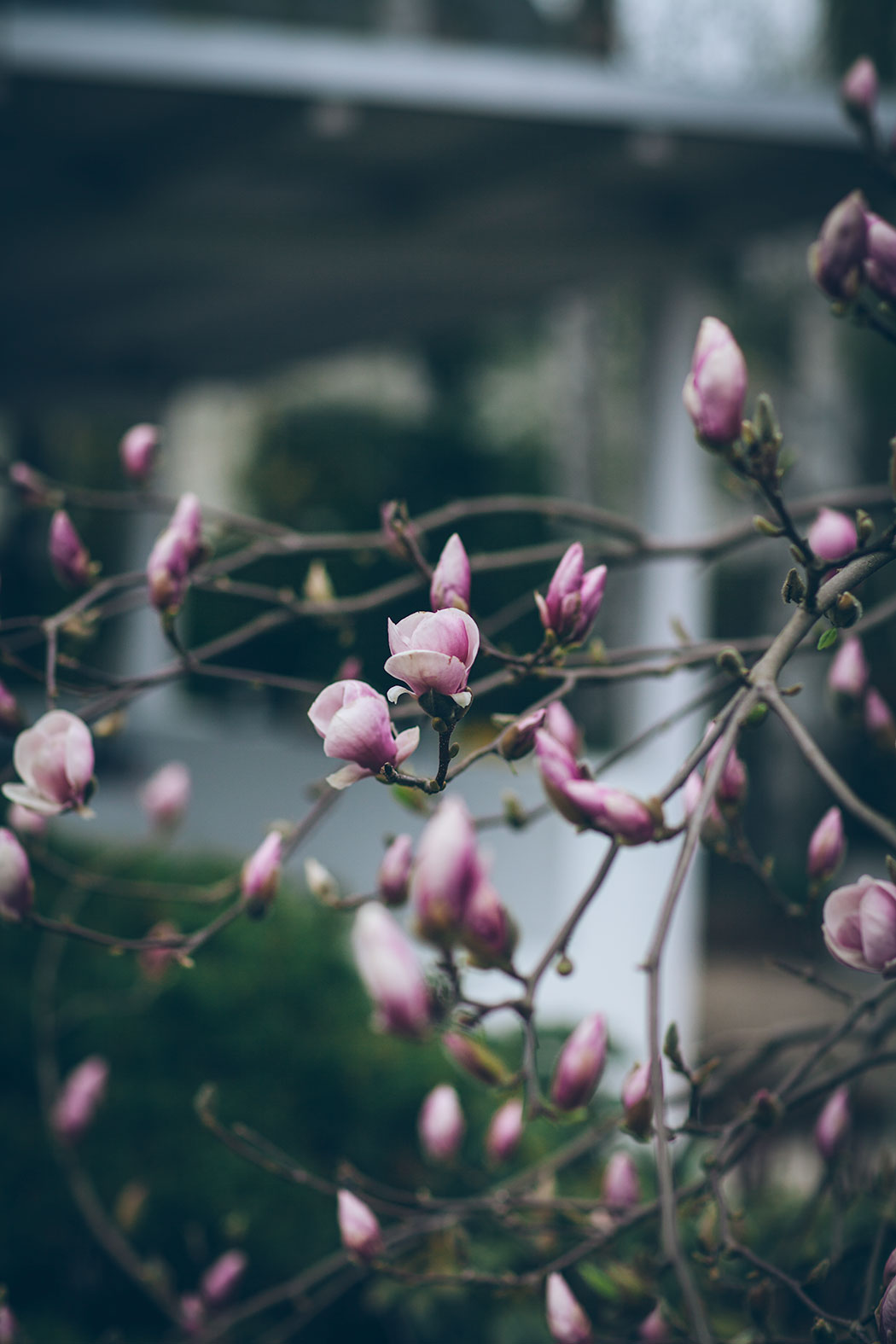 magnolia-poczatek-kwietnoa