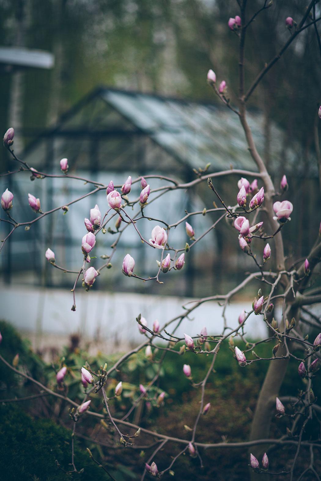 kwitnąca magnoilia