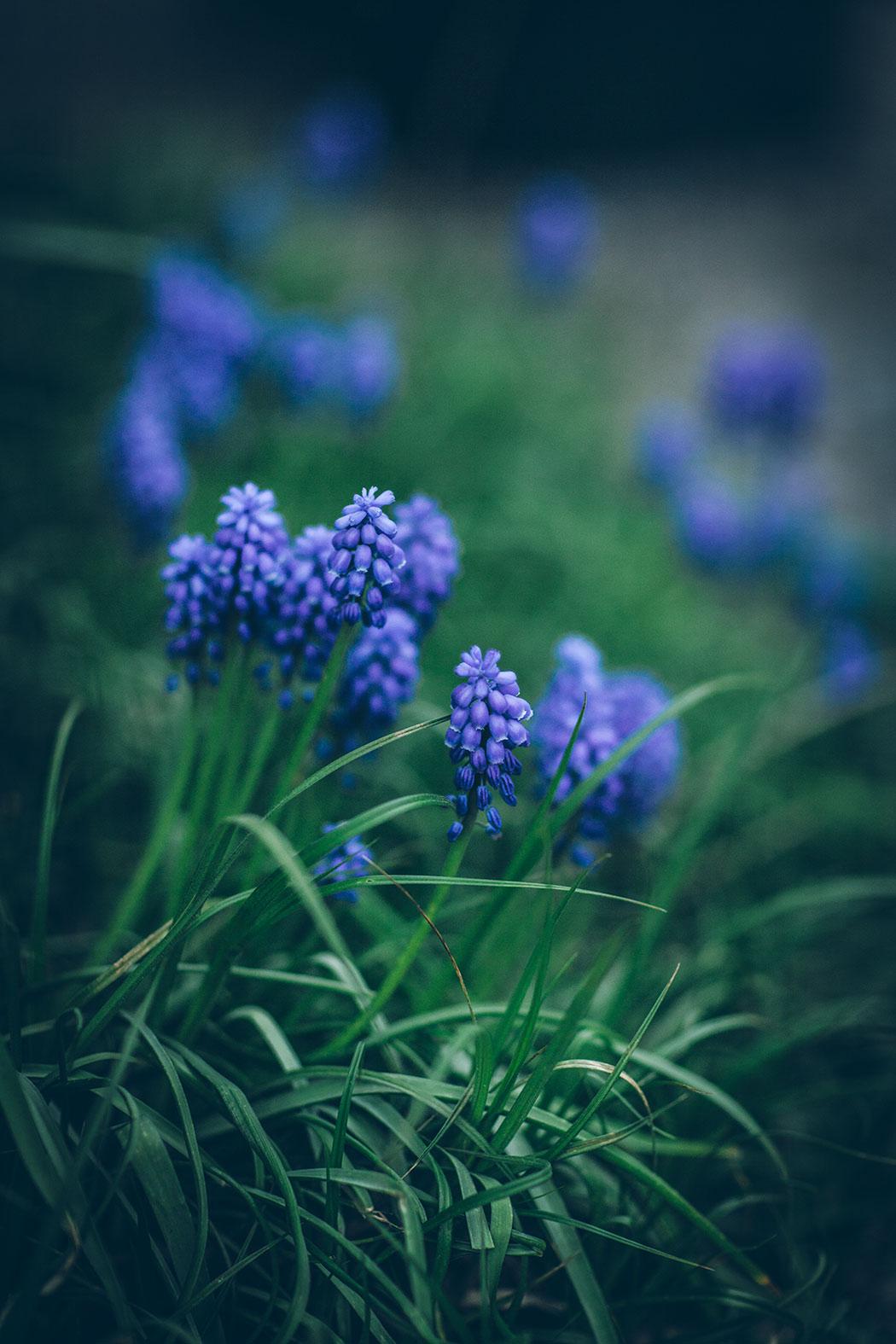 szafirki w ogrodzie wiosną