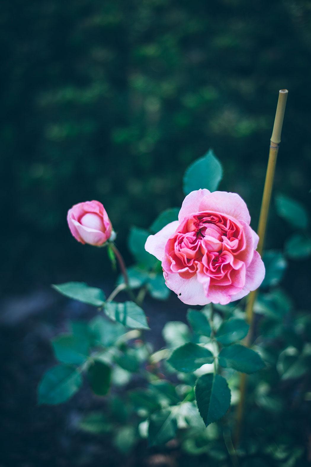 boscobel-roza