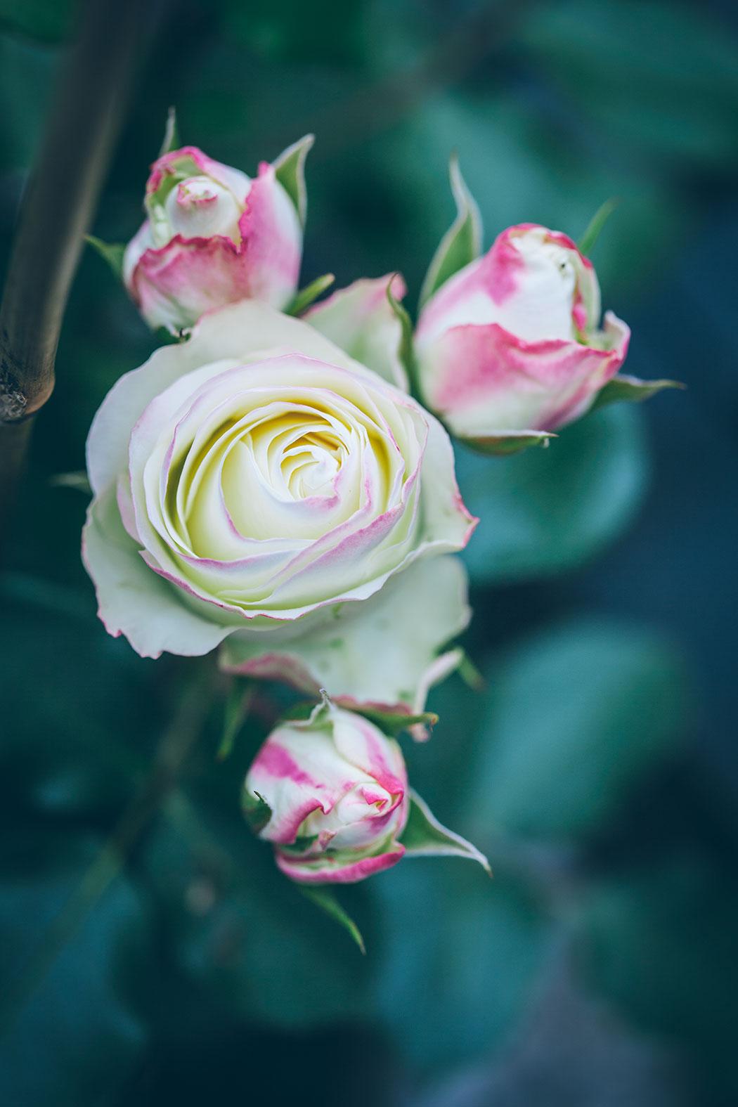 eskimo-flower-circus-roza