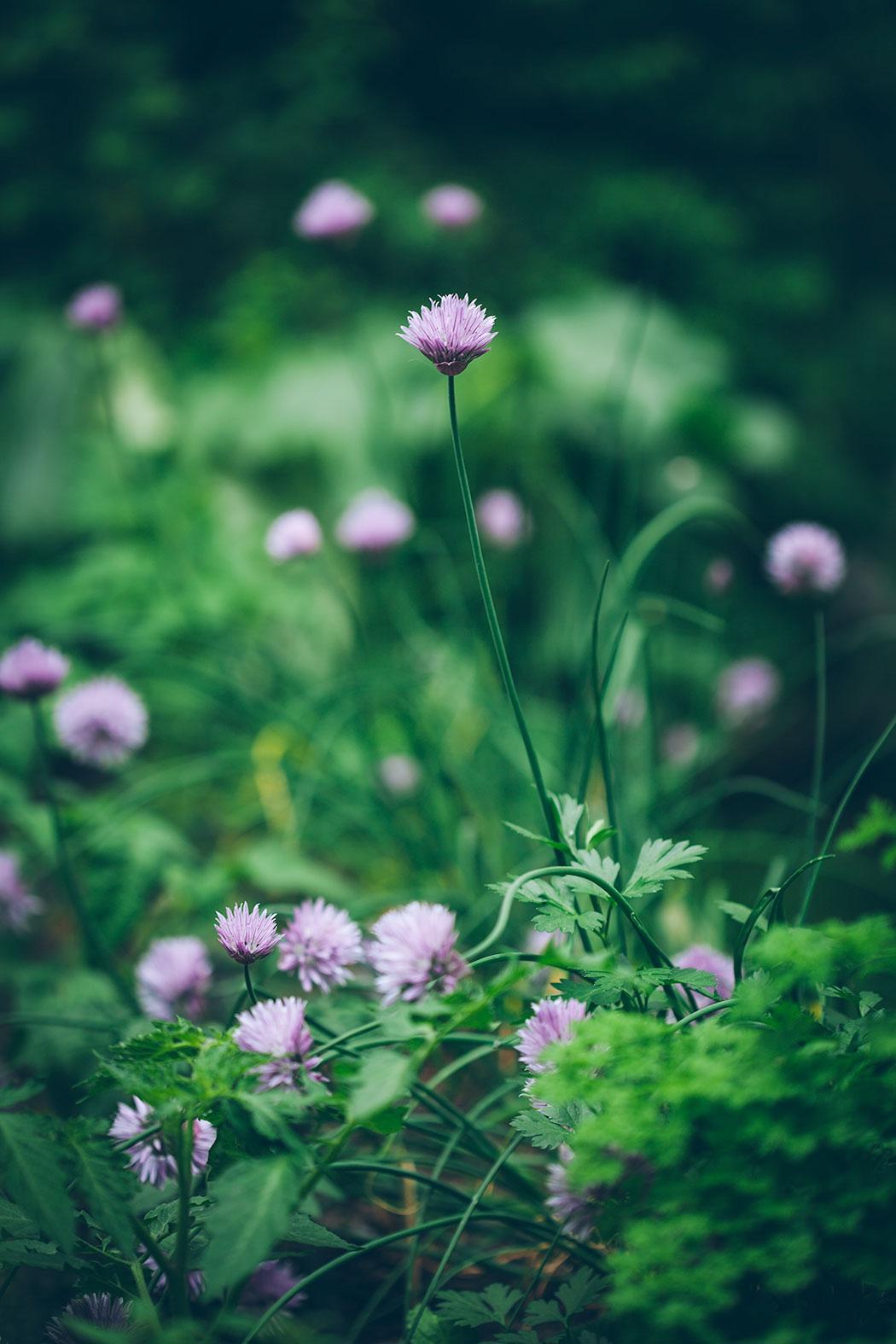 kwiaty-szczypiorku