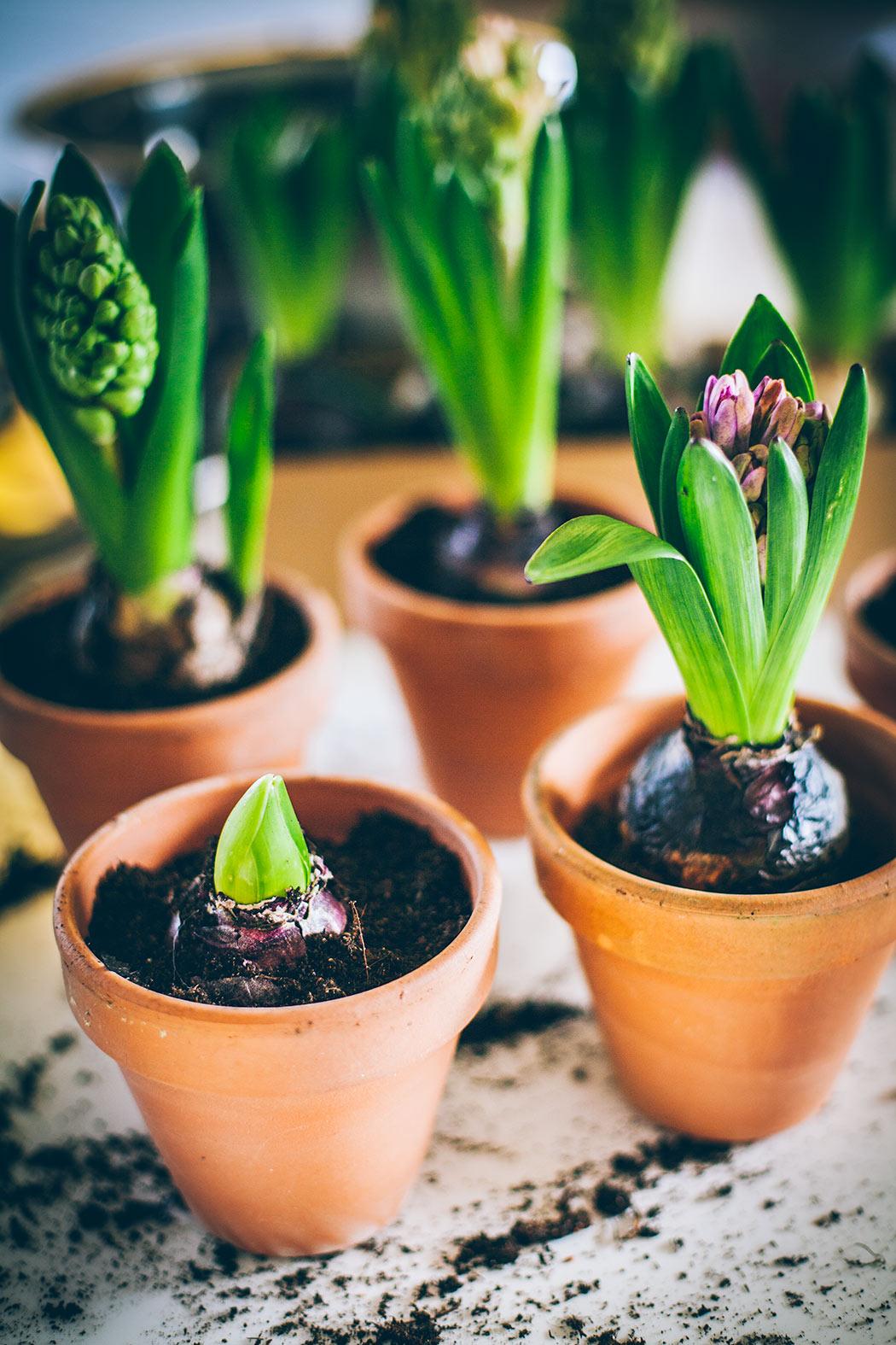 podpędzone kwiaty cebulowe w domu hiacynty