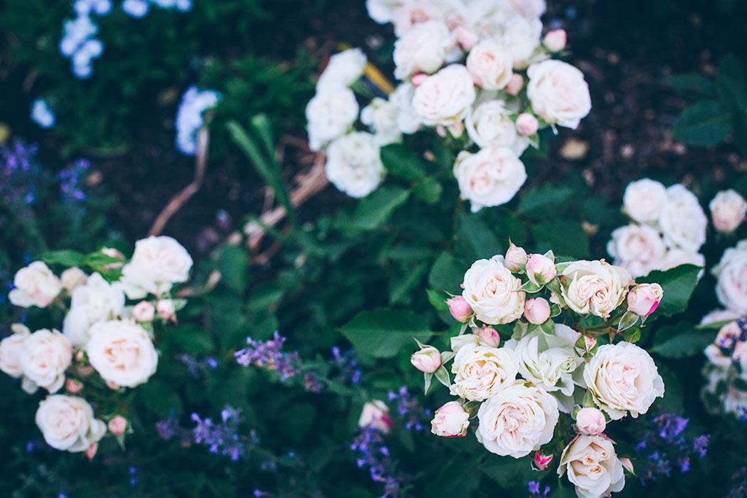 jak ciąć róże wiosną