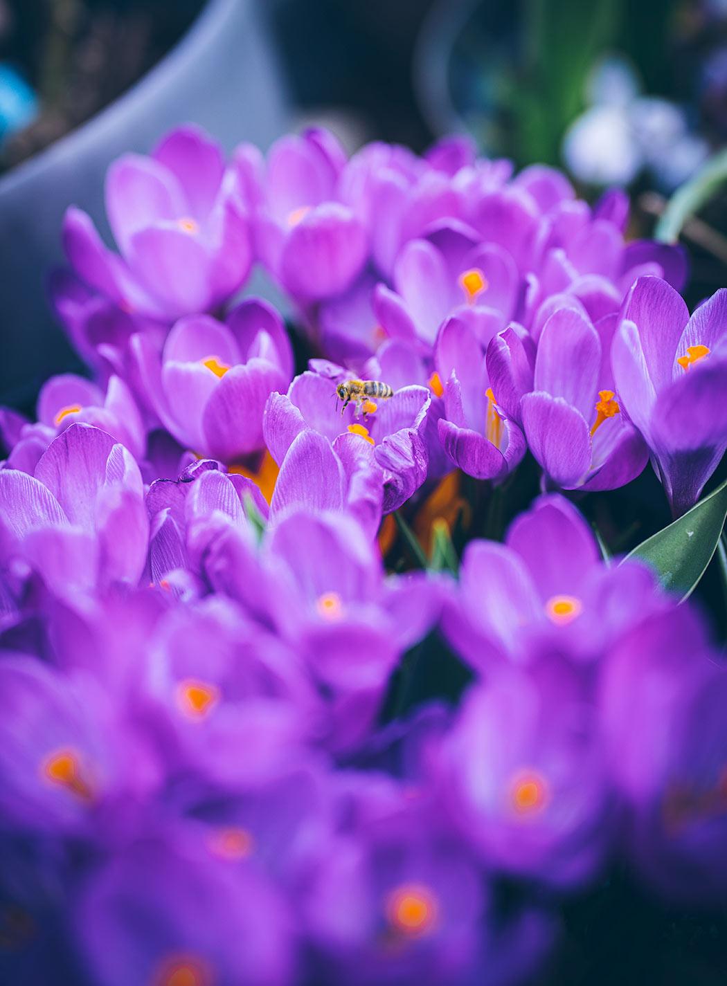 krokusy-pszczoly