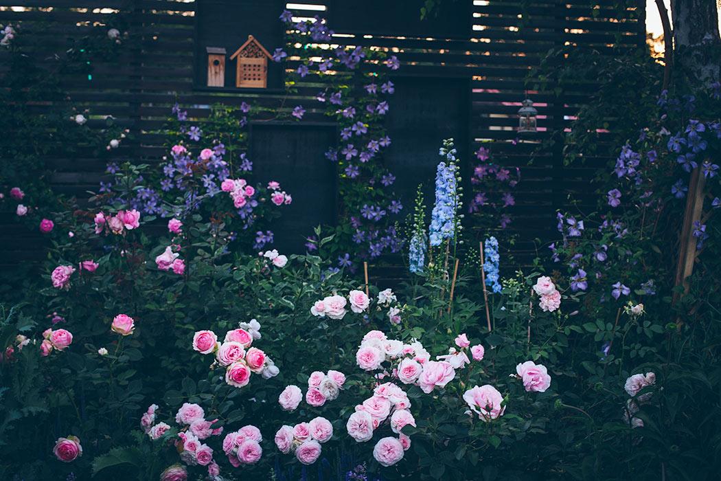 cięcie róż wiosną