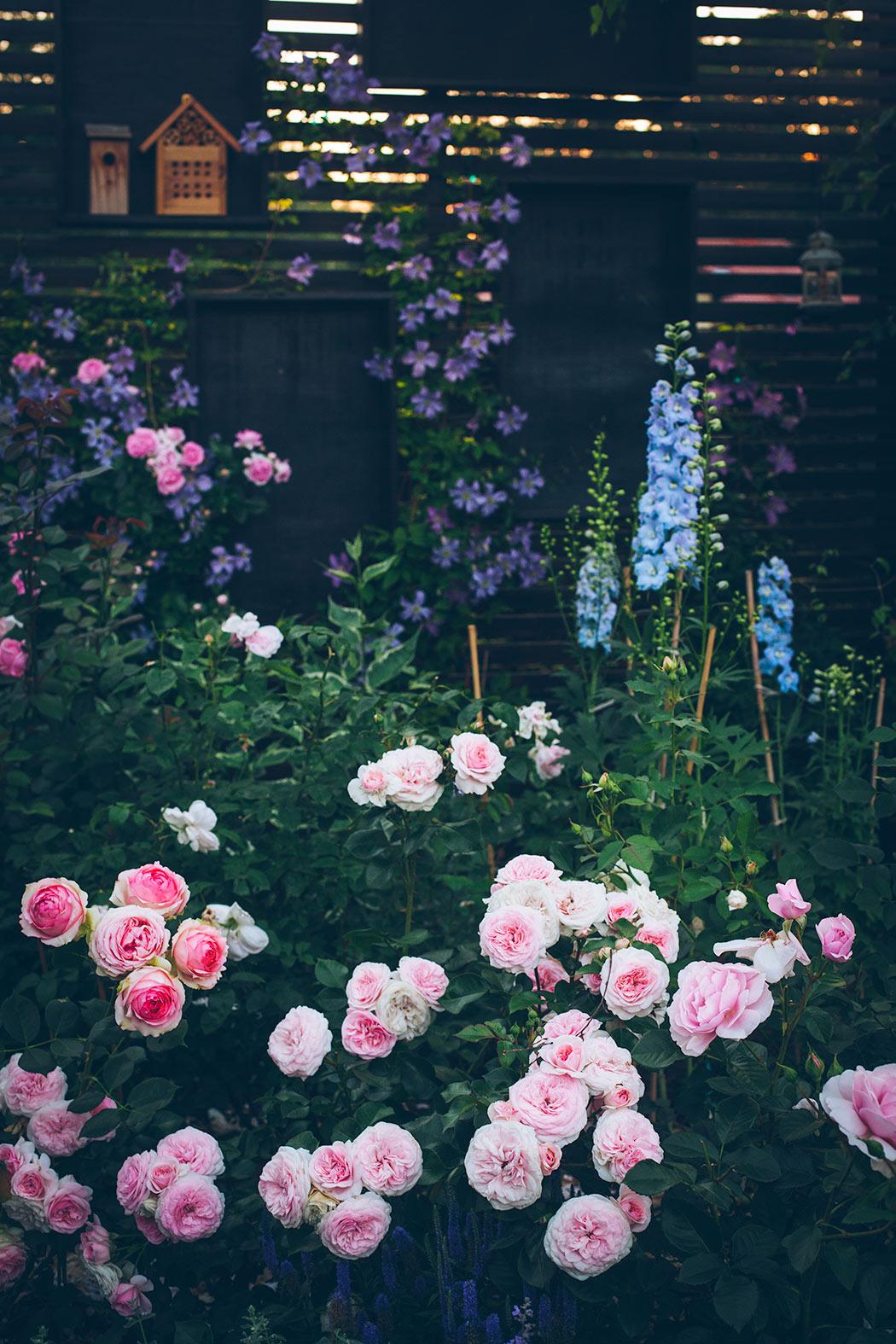 jak przycina się róże