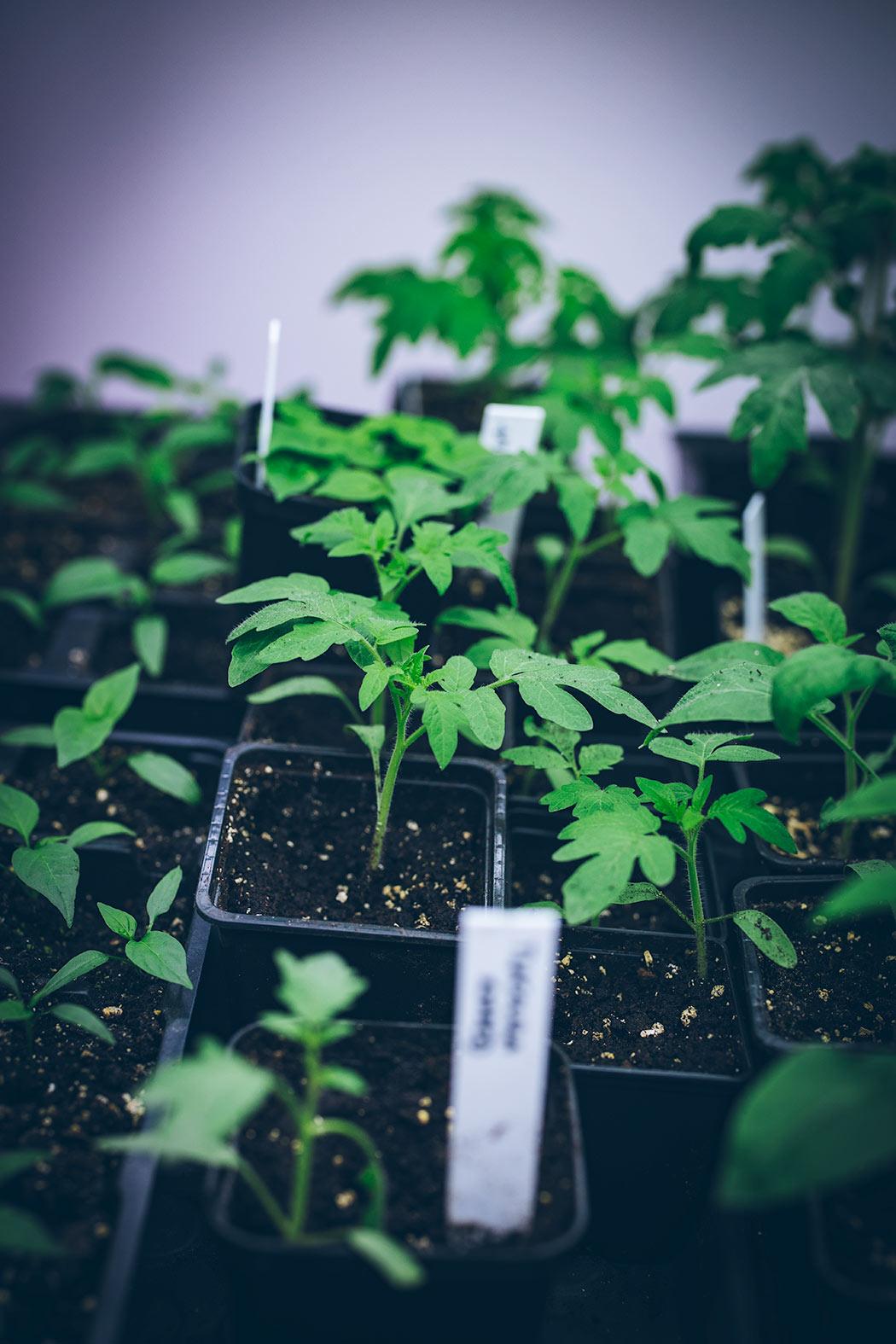 pikowanie sadzonek pomidorów krok po kroku