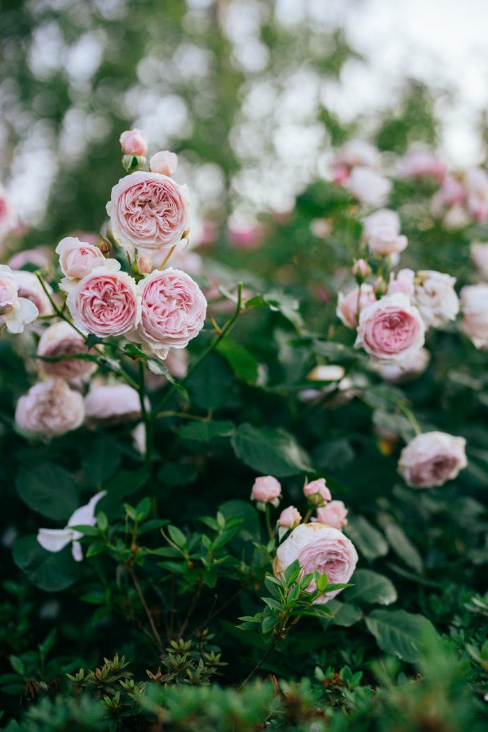 angielska roza geoff hamilton