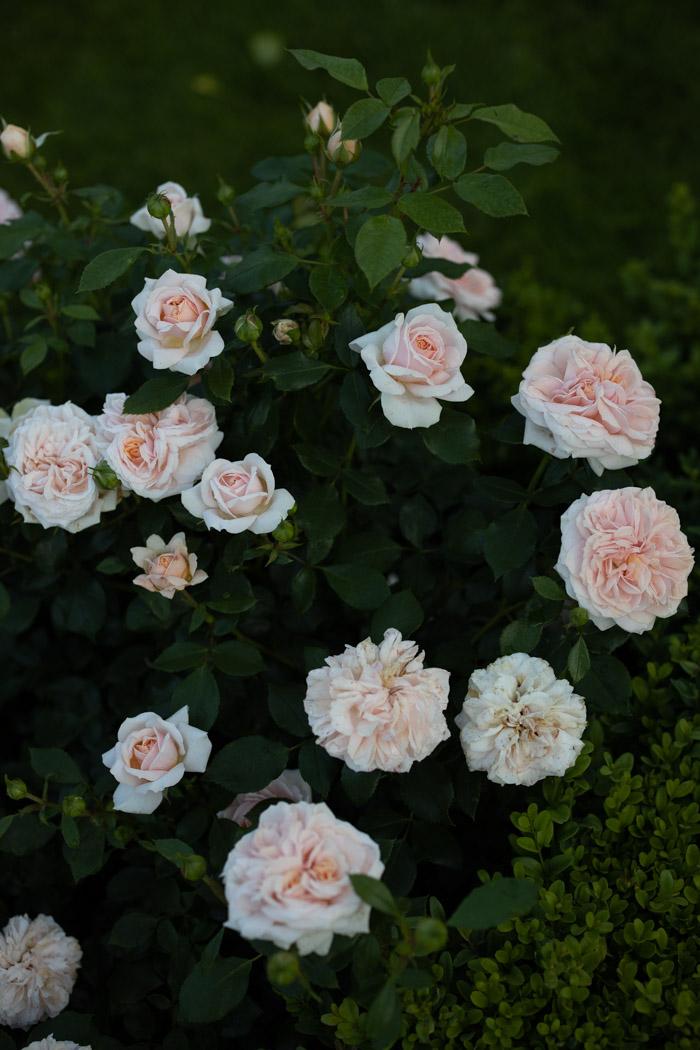 roza garden of roses