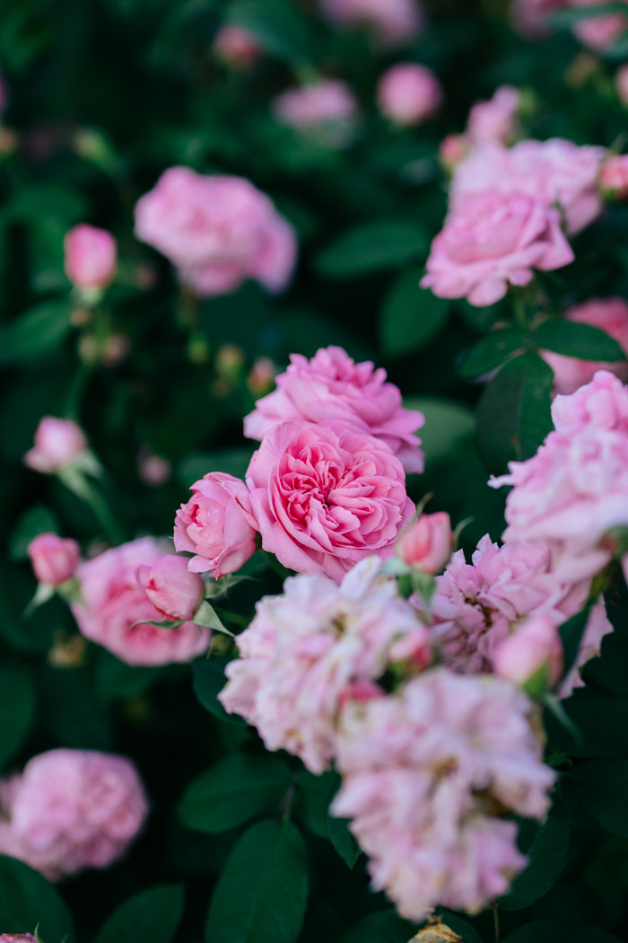 roza gertrude jekyll