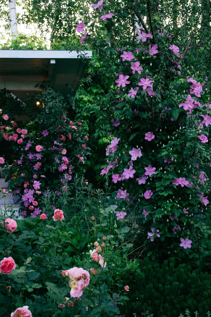 roze pnace i clematisy w ogrodzie