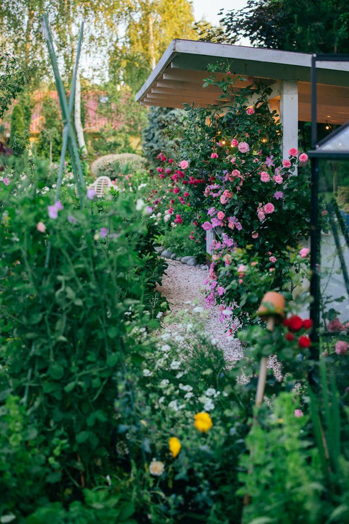 roze pnace w ogrodzie